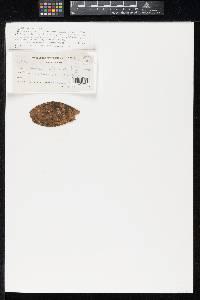 Image of Asterina miconiicola