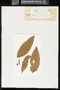 Image of Lembosia rizalensis