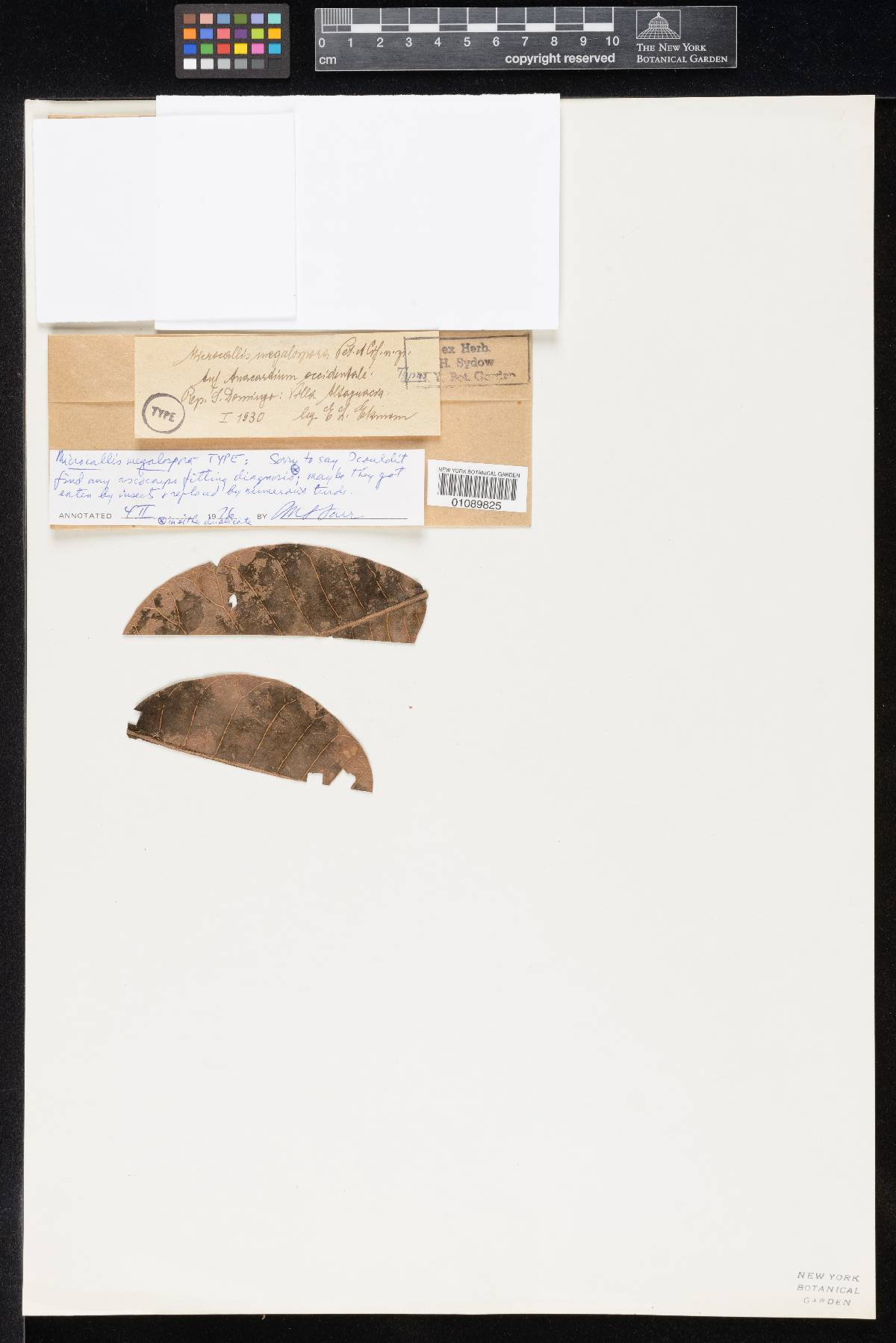 Microcallis megalospora image