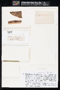 Pestalotia foedans image