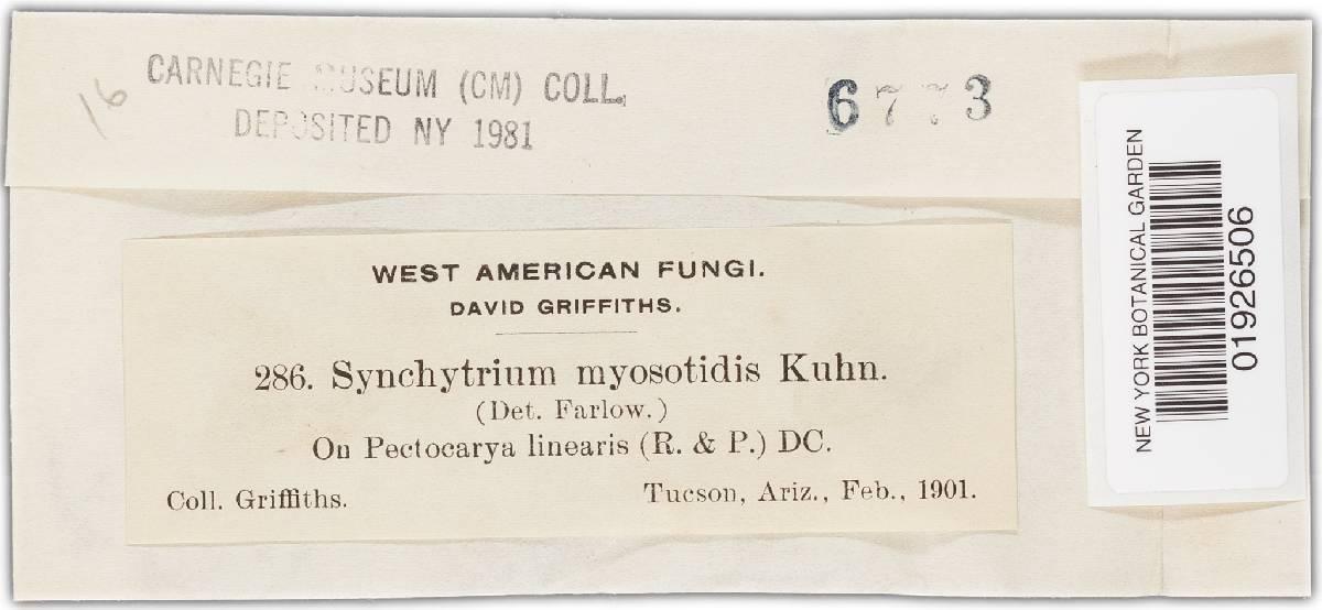 Synchytrium myosotidis image