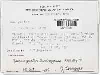 Leucophleps spinispora image