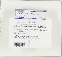 Clitocybe ramigena image