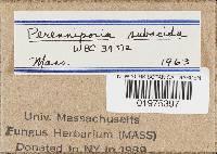 Perenniporia subacida image