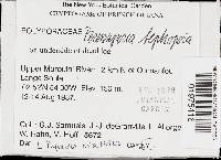 Loweporus tephroporus image