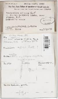 Phanerochaete affinis image