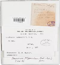 Phlyctibasidium polyporoideum image