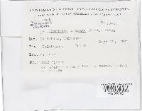 Armillaria procera image