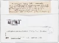 Arrhenia spathulata image