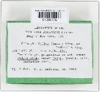 Calocybe fallax image
