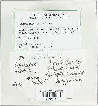 Image of Camarophyllus adonis