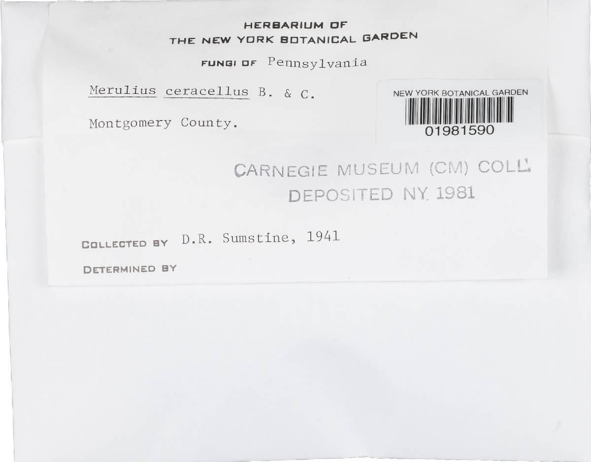 Ceraceomyces image