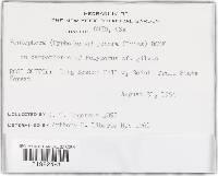 Peniophorella pubera image