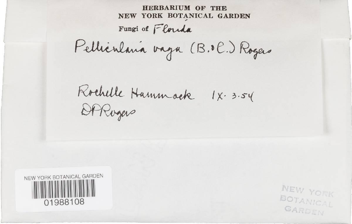 Botryobasidium vagum image