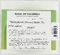 Thelephora penicillata image