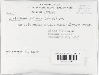 Thelephora palmata image