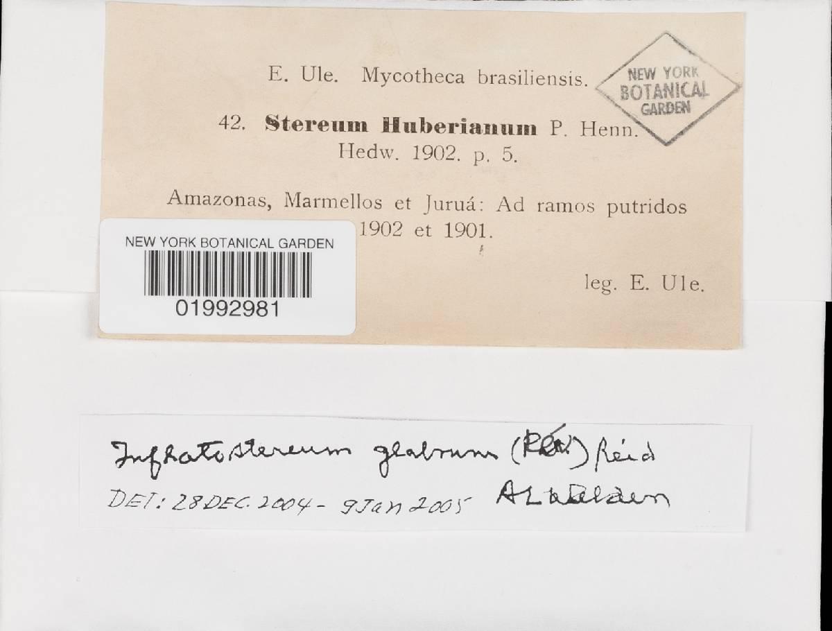 Inflatostereum glabrum image
