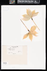 Medeolaria farlowii image