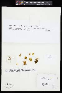 Image of Inonotus dentatus