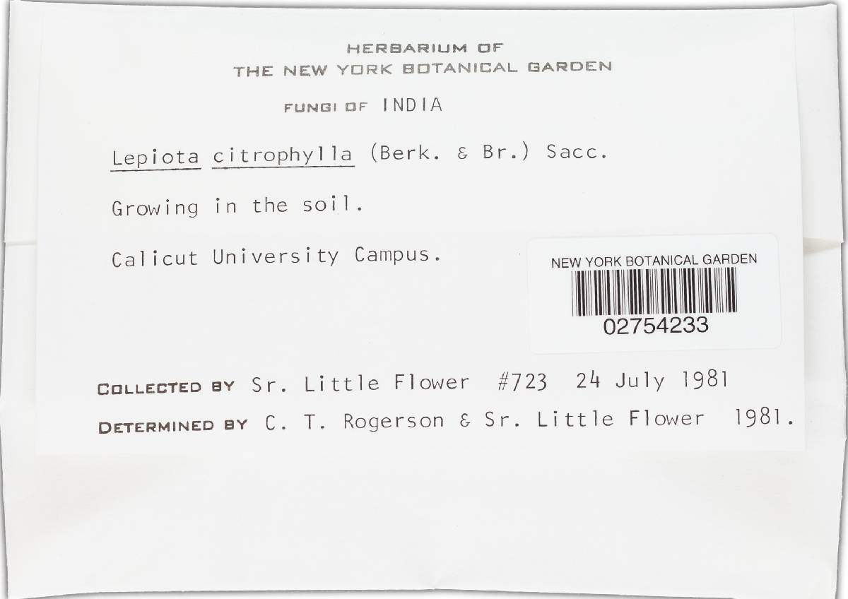 Lepiota citrophylla image