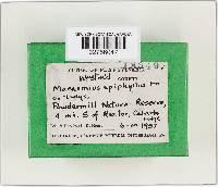 Marasmius epiphyllus image