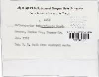 Melanogaster tuberiformis image