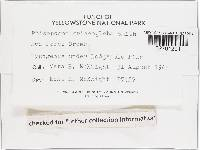Rhizopogon griseogleba image