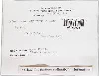 Scleroderma polyrhizum image