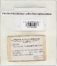 Tulostoma lysocephalum image