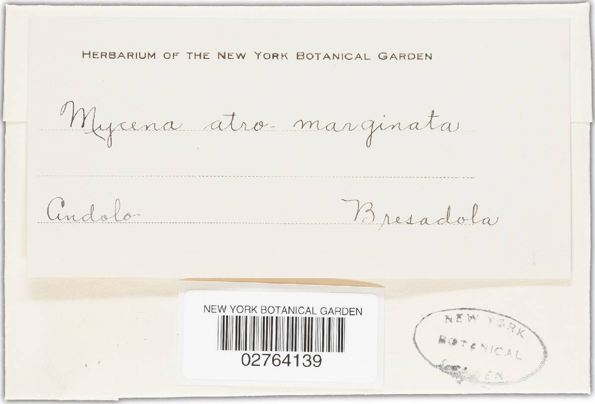 Mycena atromarginata image