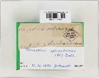 Panaeolus papilionaceus var. papilionaceus image