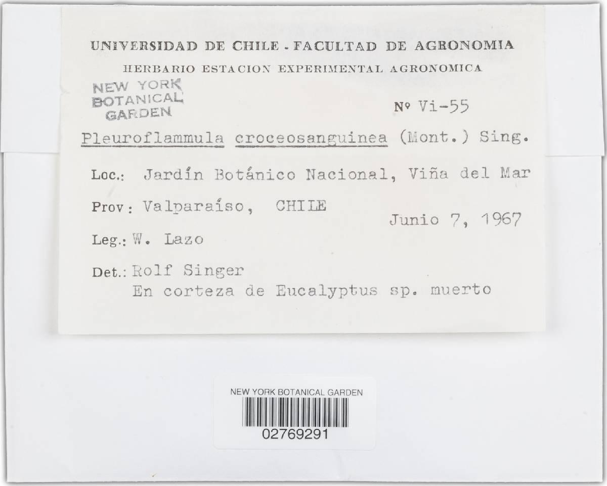 Pleuroflammula croceosanguinea image