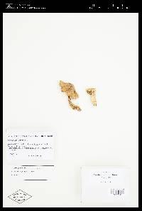 Cortinarius fraudulosus image