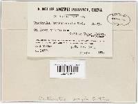 Image of Uncinula nankinensis