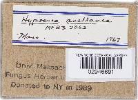 Hypocrea avellanea image