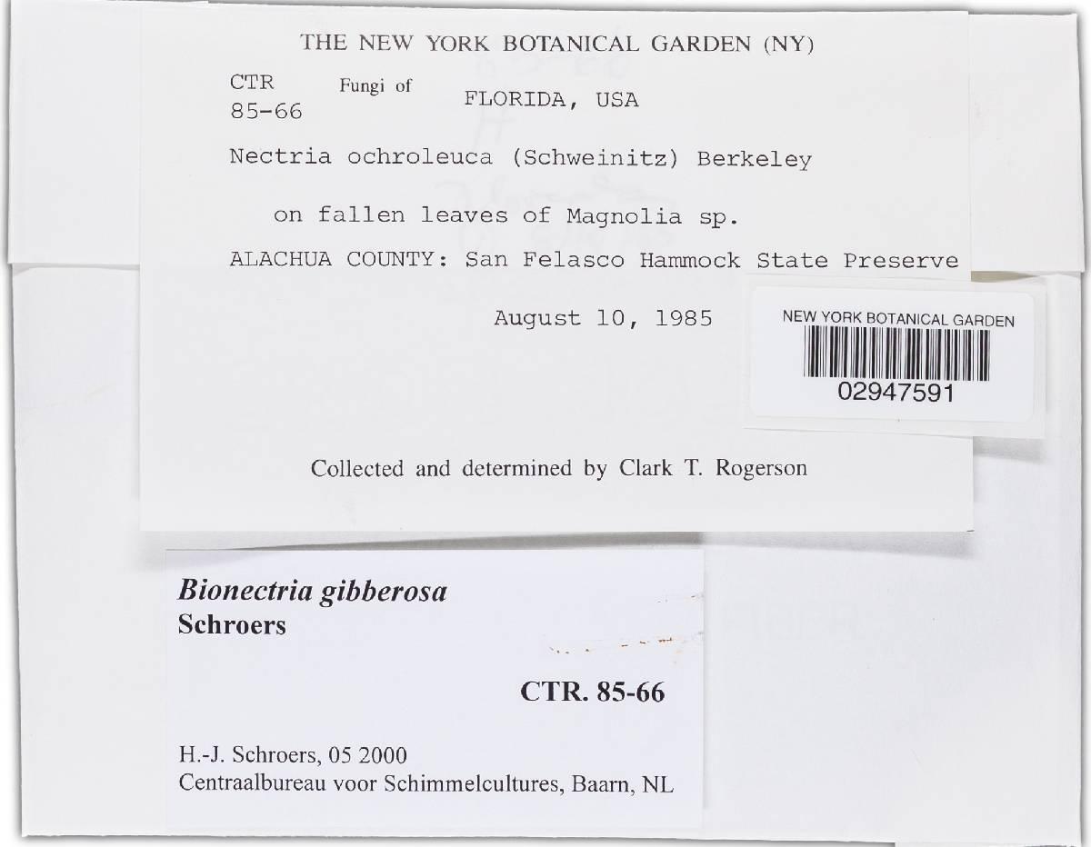 Bionectria gibberosa image