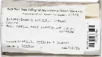 Trichoglossum rasum image