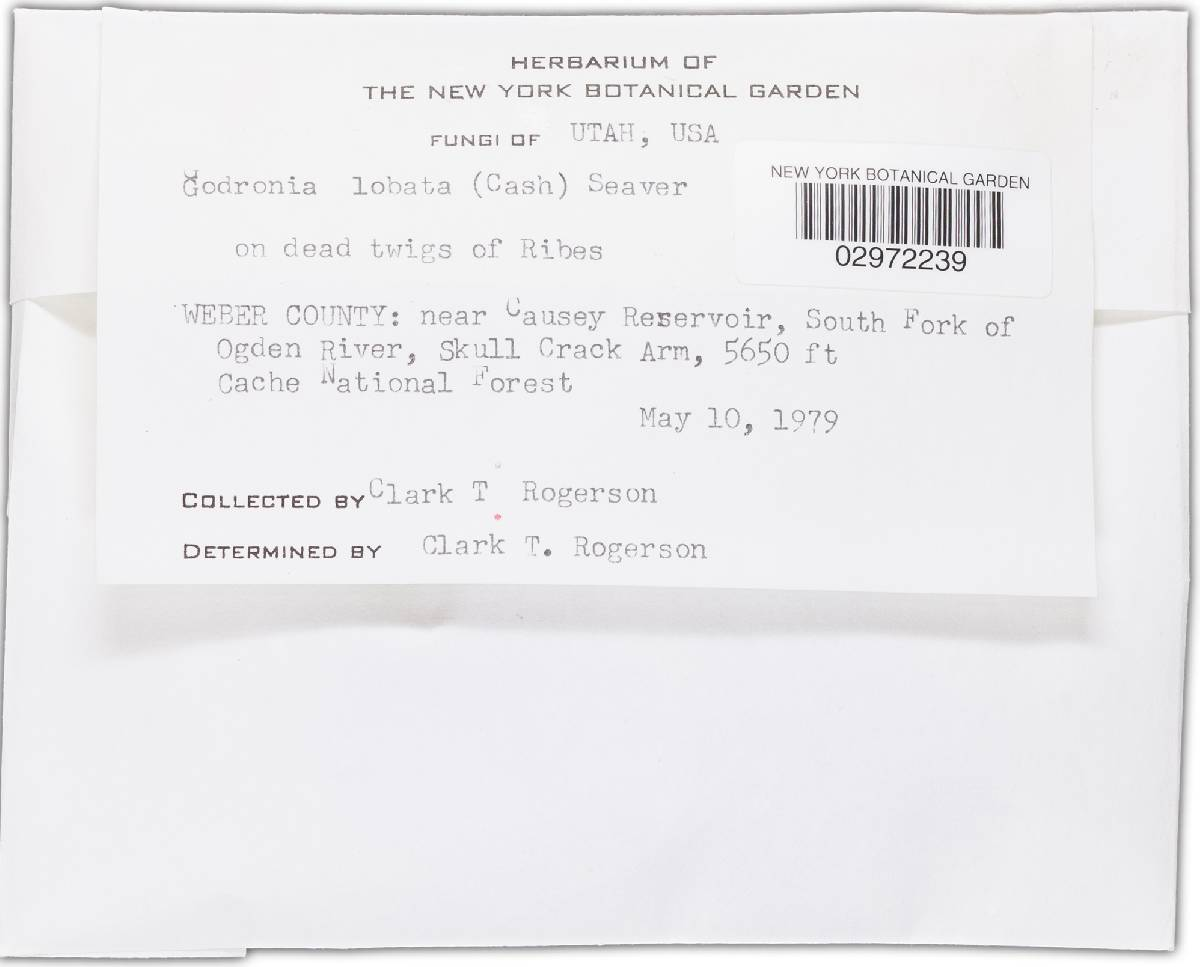 Godronia lobata image