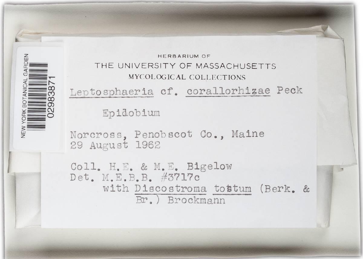 Leptosphaeria corallorhizae image