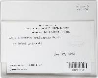 Leptosphaeria hyalospora image