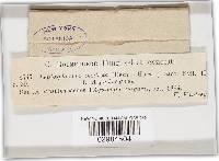 Leptosphaeria modesta image