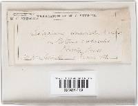 Leptosphaeria platanicola image