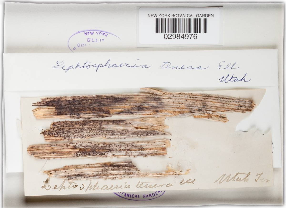 Leptosphaeria tenera image