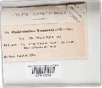 Leptosphaeria tanaceti image