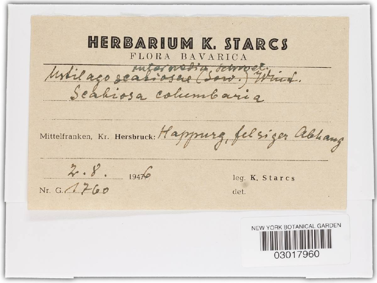 Microbotryum intermedium image