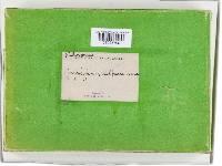 Phylloporia pectinata image