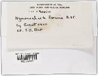 Hymenochaete leonina image