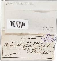 Hymenochaete rubiginosa image