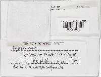 Rhodocollybia lentinoides image