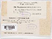 Saccothecium sepincola image